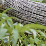 I danni da eventi siccitosi nel castagneto da frutto tradizionale delle zone sub-montane